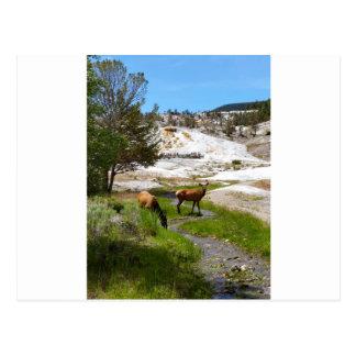 Elk at Mammoth Hot Springs Postcard