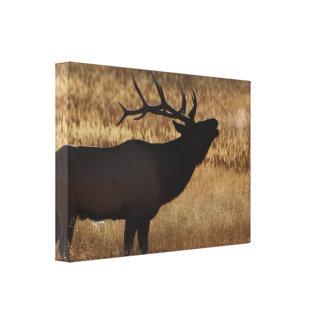 elk bugling stretched canvas prints