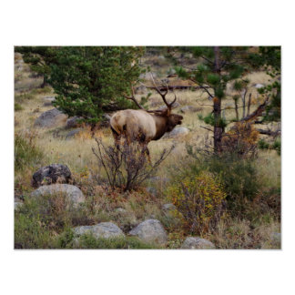 Elk bugling in Rocky Mountain National Park Print