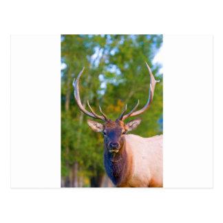 Elk Bulls Eyes Postcards