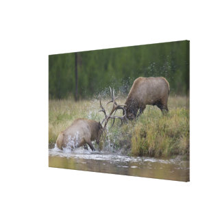 Elk Bulls fighting, Yellowstone NP, Wyoming Canvas Print