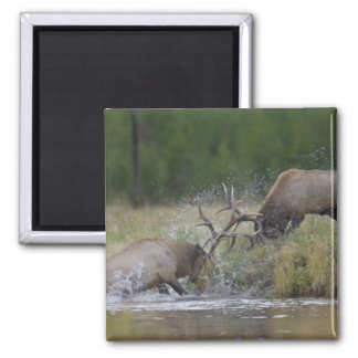 Elk Bulls fighting, Yellowstone NP, Wyoming 2 Inch Square Magnet