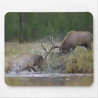 Elk Bulls fighting, Yellowstone NP, Wyoming Mouse Pad
