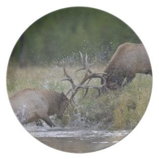 Elk Bulls fighting, Yellowstone NP, Wyoming Plate