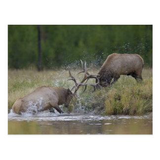 Elk Bulls fighting, Yellowstone NP, Wyoming Postcard