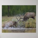 Elk Bulls fighting, Yellowstone NP, Wyoming Poster