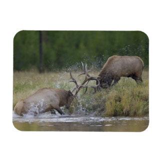 Elk Bulls fighting, Yellowstone NP, Wyoming Rectangular Photo Magnet