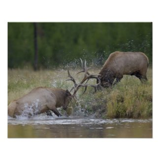 Elk Bulls fighting, Yellowstone NP, Wyoming Print