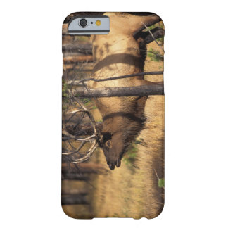 elk, Cervus elaphus, bull bugles in a burnt out Barely There iPhone 6 Case