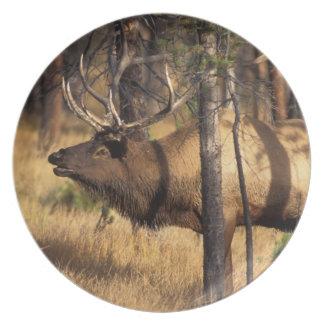 elk, Cervus elaphus, bull bugles in a burnt out Dinner Plate