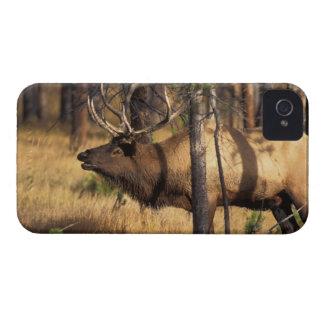 elk, Cervus elaphus, bull bugles in a burnt out iPhone 4 Cover