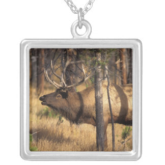 elk, Cervus elaphus, bull bugles in a burnt out Silver Plated Necklace