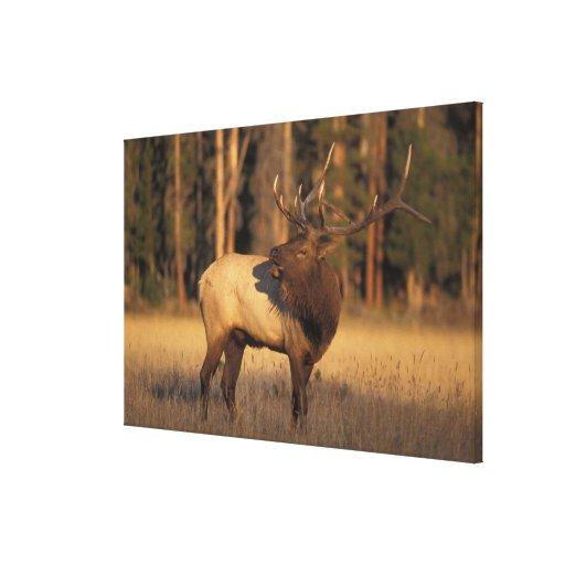 elk, Cervus elaphus, bull calling in Stretched Canvas Print