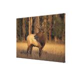 elk, Cervus elaphus, bull calling in Canvas Print
