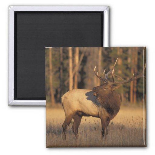 elk, Cervus elaphus, bull calling in Fridge Magnets