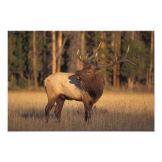 elk, Cervus elaphus, bull calling in Photo Print