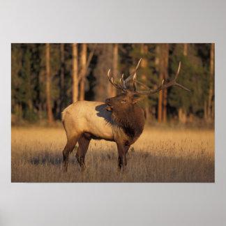 elk, Cervus elaphus, bull calling in Poster