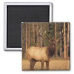 elk, Cervus elaphus, bull eating grasses in a Refrigerator Magnet