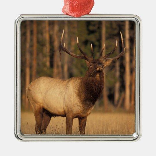 elk, Cervus elaphus, bull eating grasses in a Metal Ornament