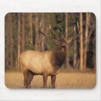 elk, Cervus elaphus, bull eating grasses in a Mousepad