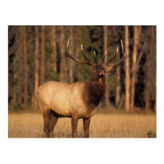 elk, Cervus elaphus, bull eating grasses in a Post Cards