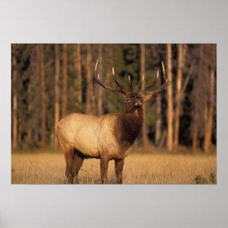 elk, Cervus elaphus, bull eating grasses in a Poster