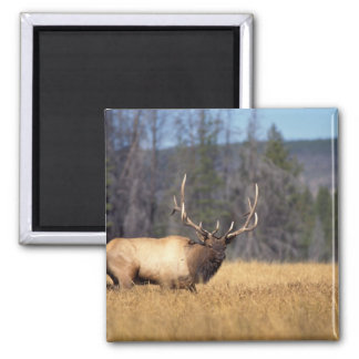 elk, Cervus elaphus, bull in a field in 2 Inch Square Magnet