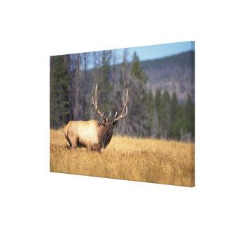 elk, Cervus elaphus, bull in a field in Canvas Print
