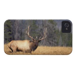 elk, Cervus elaphus, bull in a field in iPhone 4 Case-Mate Case