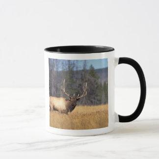elk, Cervus elaphus, bull in a field in Mug