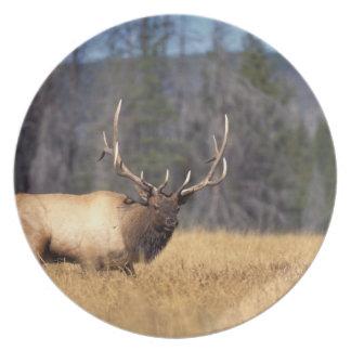 elk, Cervus elaphus, bull in a field in Plate