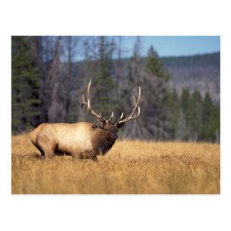 elk, Cervus elaphus, bull in a field in Postcards