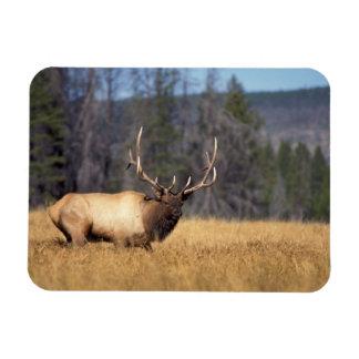 elk, Cervus elaphus, bull in a field in Rectangular Photo Magnet