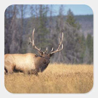 elk, Cervus elaphus, bull in a field in Stickers