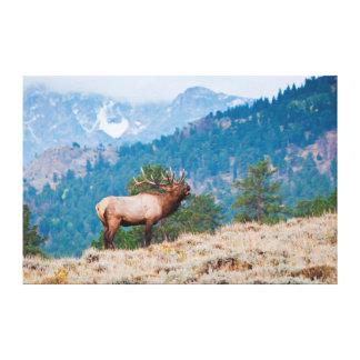 Elk (Cervus Elephus) Bull Bugling Canvas Print