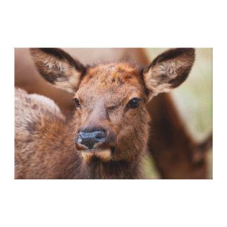Elk (Cervus Elephus) Calf With Winter Hair Canvas Print