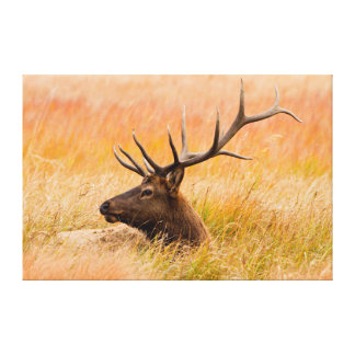 Elk (Cervus Elephus) Resting In Meadow Grass Canvas Print