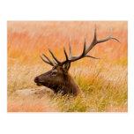 Elk (Cervus Elephus) Resting In Meadow Grass Postcard