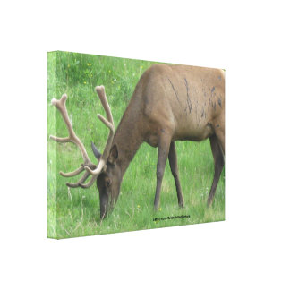 Elk Eating Grass Wrapped Canvas