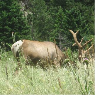 Elk grazing in Colorado Cutout