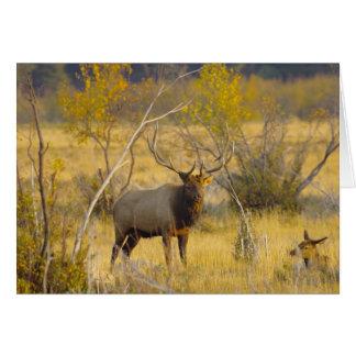 Elk in Colorado Card