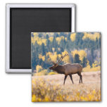 Elk in Rocky Mountain National Park, Colorado 2 Inch Square Magnet