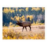 Elk in Rocky Mountain National Park, Colorado Postcard