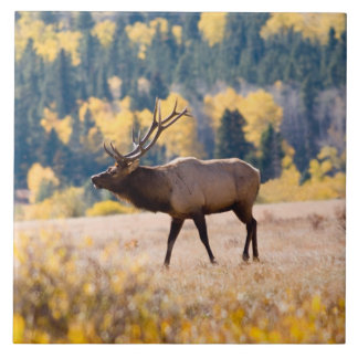 Elk in Rocky Mountain National Park, Colorado Large Square Tile