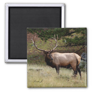Elk in the Wild 2 Inch Square Magnet