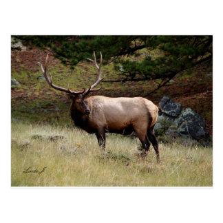 Elk in the Wild Postcard