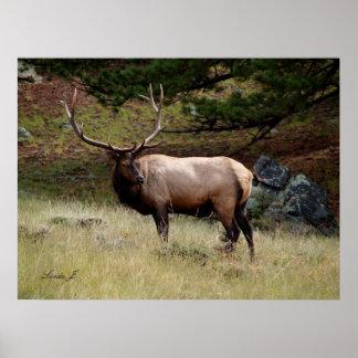 Elk in the Wild Poster