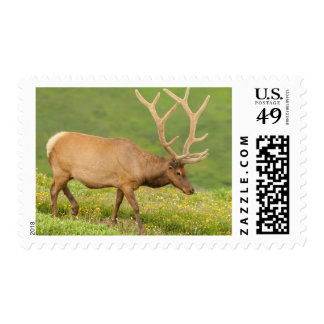 Elk in velvet walking, Colorado Postage