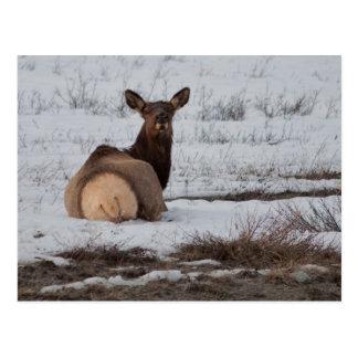 Elk Interest Postcard