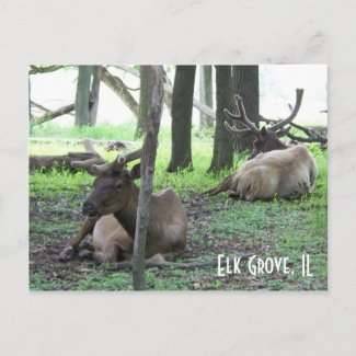 Elk Postcard postcard